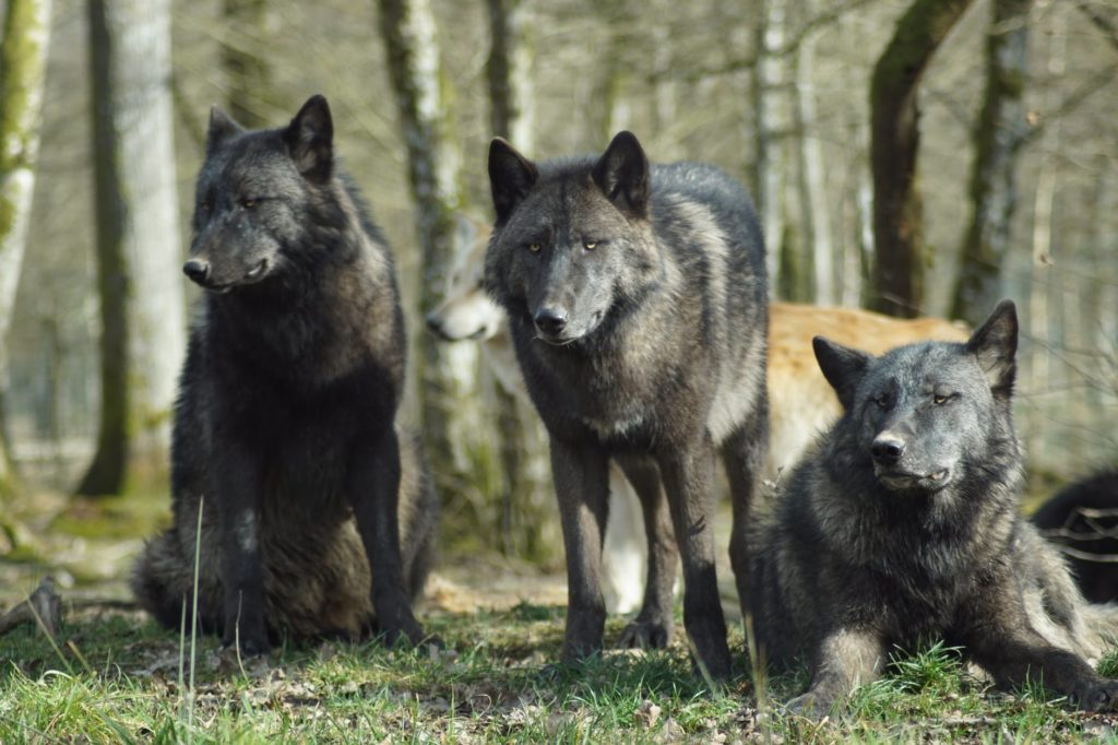 Three black wolves, probably part of the same pack and related as well.