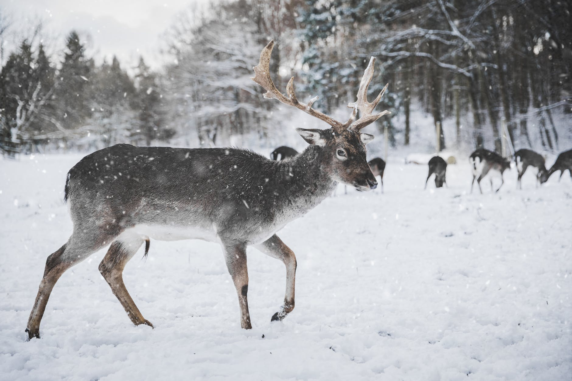 Female reindeer, like the one pictured here, have antlers in December, so Rudolph might actually be a chick.