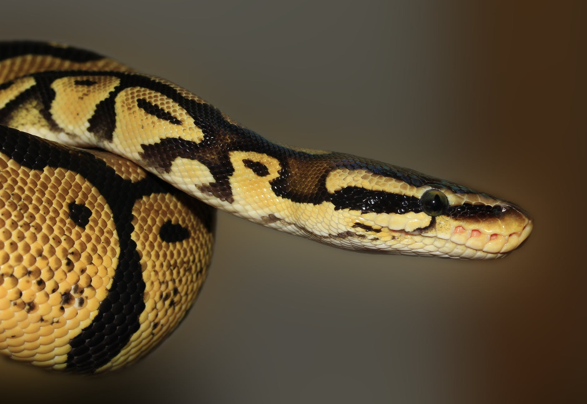 A brown python. Pythons typically develop hind limb buds, even though they have no limbs.